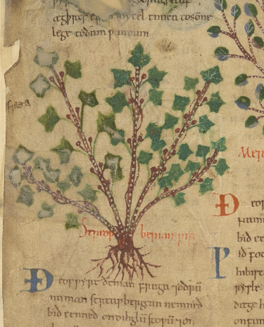 A detail from the Old English Herbal, showing an illustration of a 'Streawberian' plant.
